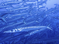 School of Barracuda